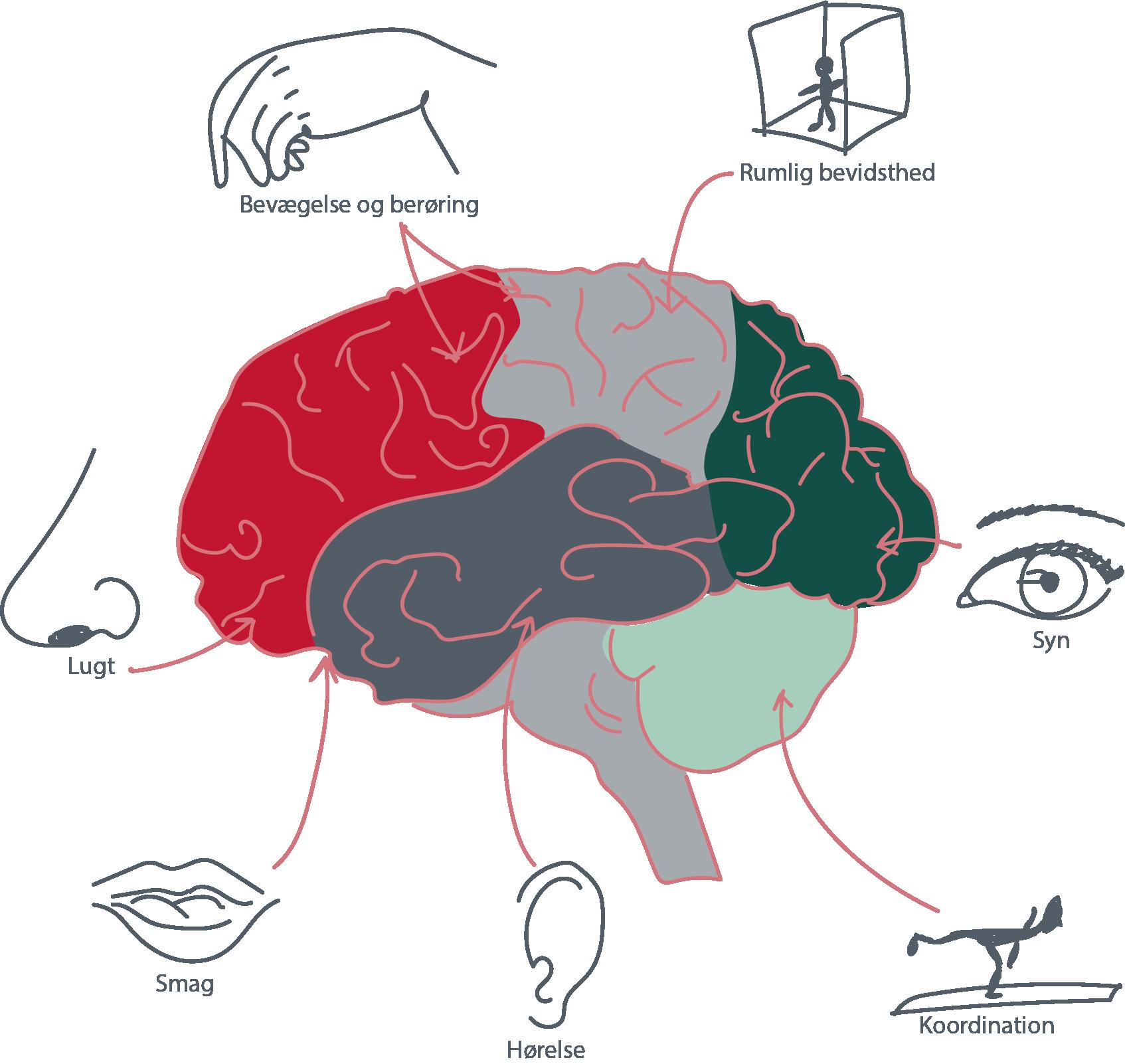 Hjerne Med Hvad De Forskellige Områder Kan hjernenområder hjernefunktioner sanser