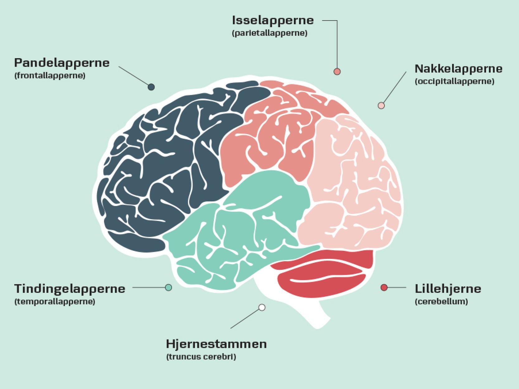 Hjernelapperne hjernens opbygning